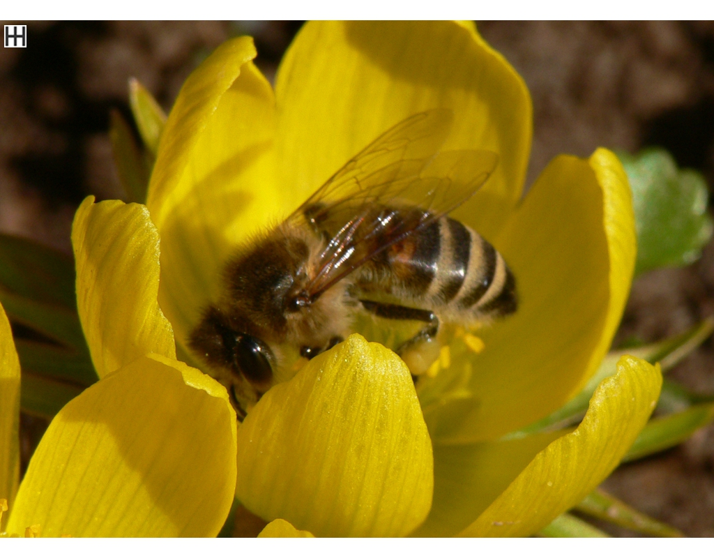Anfang März Honigbiene in Winterlingblüte 1