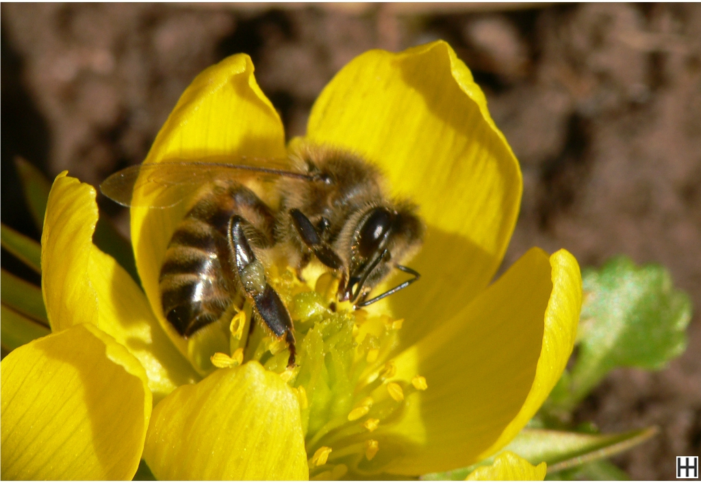 Anfang März Honigbiene in Winterlingblüte 4