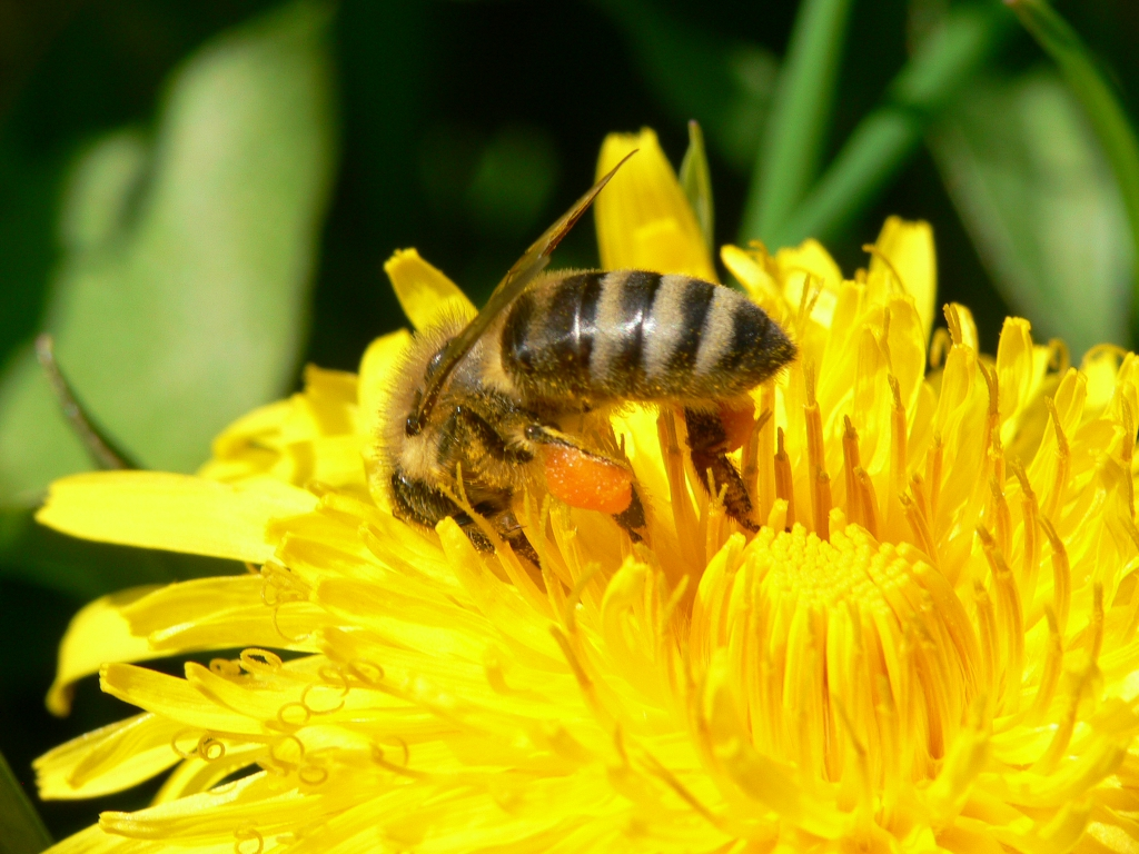 Mitte April Honigbiene in Löwenzahnblüte 4