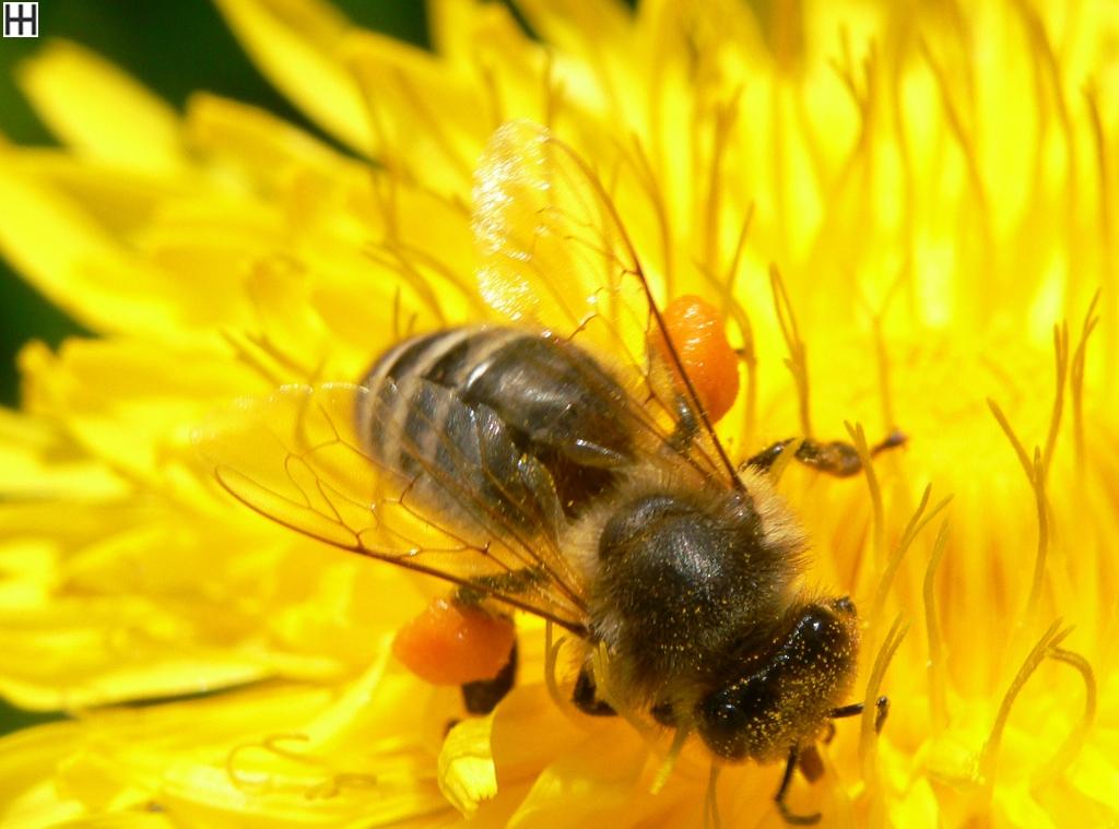 Mitte April Honigbiene in Löwenzahnblüte 1
