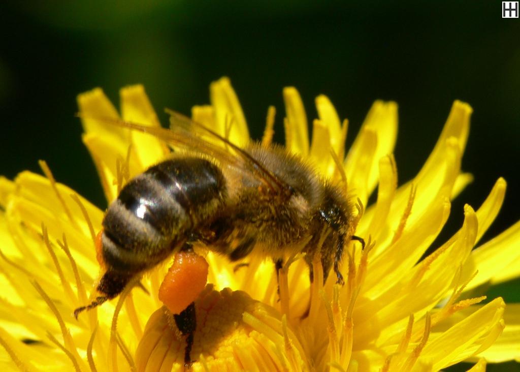Mitte April Honigbiene in Löwenzahnblüte 2