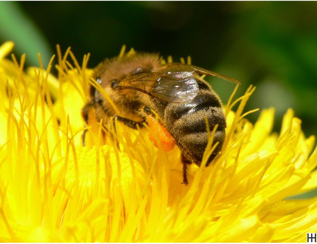 Mitte April Honigbiene in Löwenzahnblüte 3