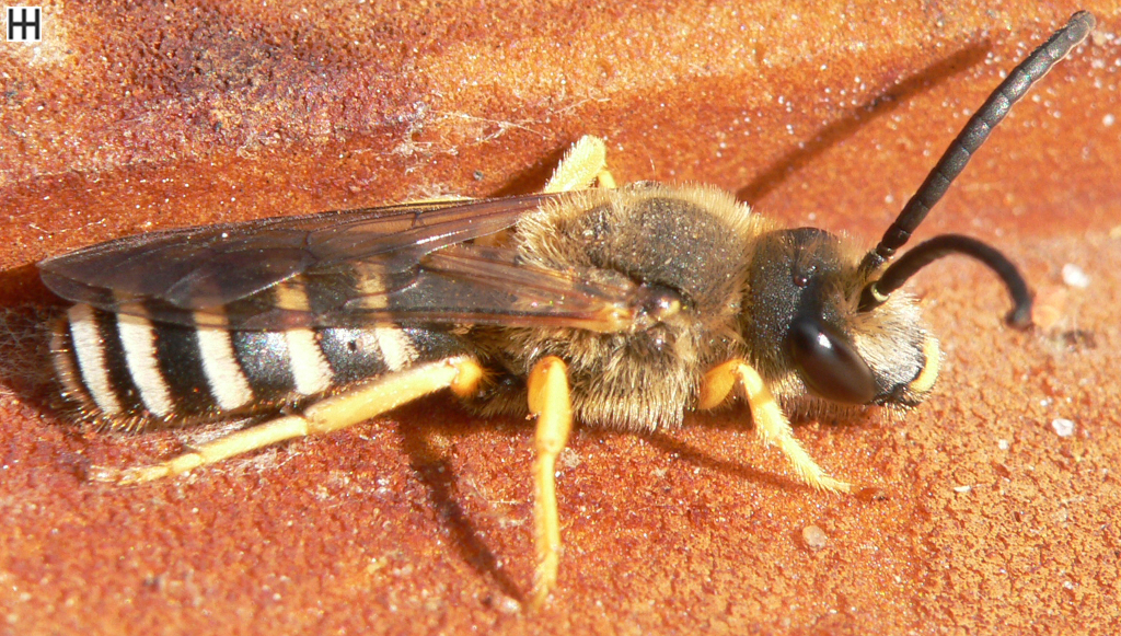 Sechsbindige Furchenbiene Königin2